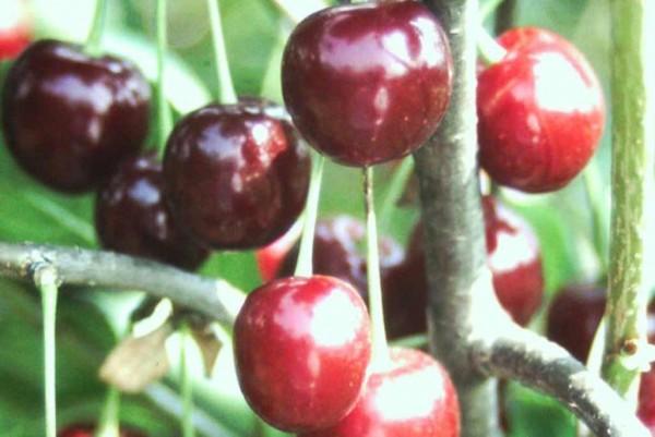 Weichsel, Prunus cersus Annabell