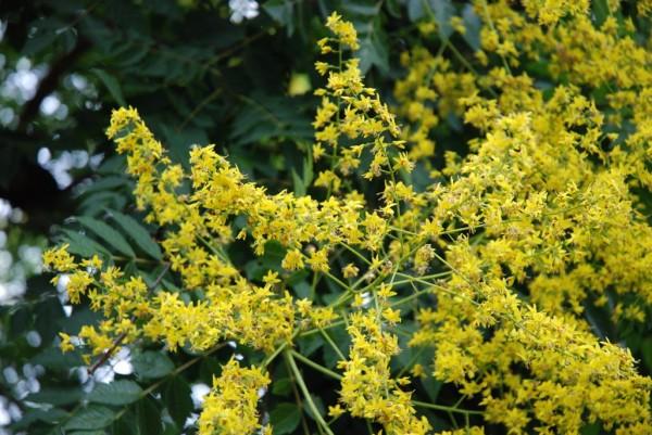 Blasenbaum, Koelreutheria paniculata