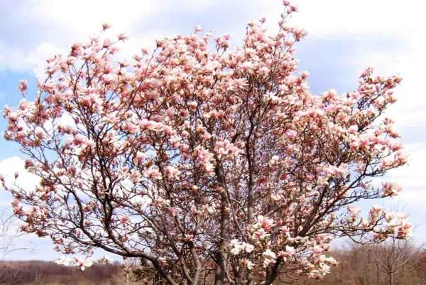 Tulpenmagnolie, Magnolia soulangeana
