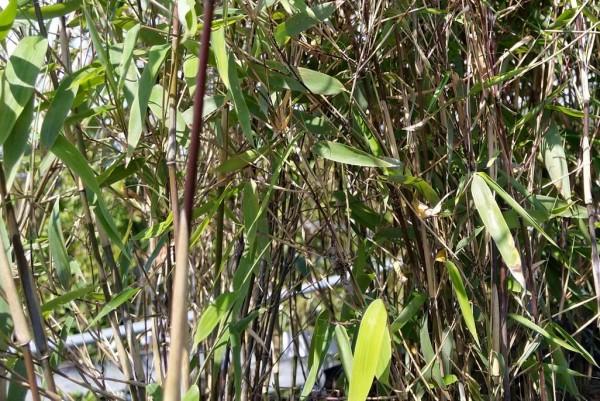 Bambus, Fargesia nitida Great Wall