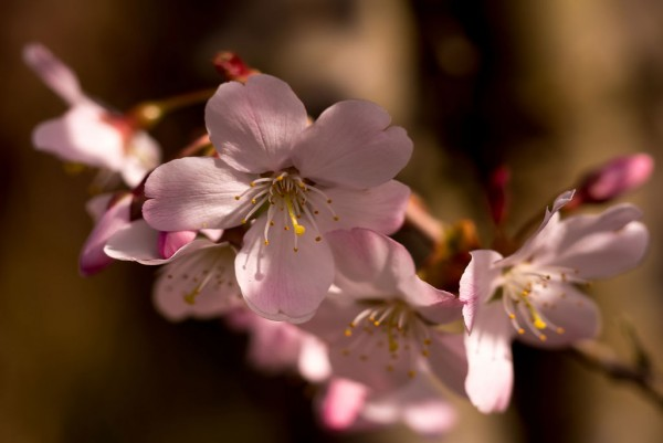 Säulenkirsche, Prunus serrulata Amanogawa