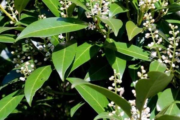 Kirschlorbeer, Prunus laurocerasus Otto Luyken