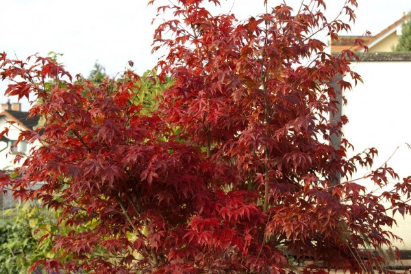 Japanischer Fächerahorn, Acer palmatum Atropupureum