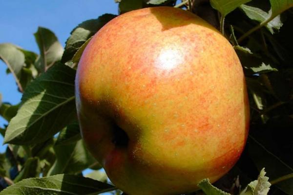 Apfel Rhapsodie, Malus domestica,