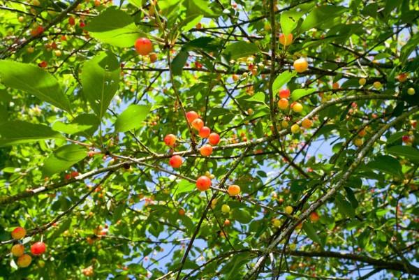 Kirsche, Prunus avium Bigarreau Napoleon