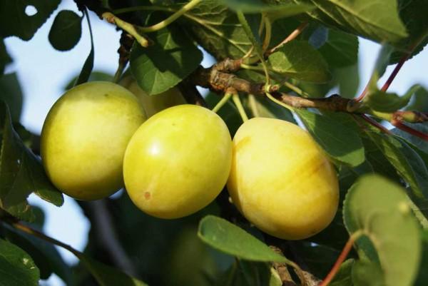 Zwetschge, Prunus domestica Lippische Eierpflaume