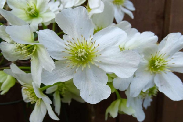 Clematis, Waldrebe