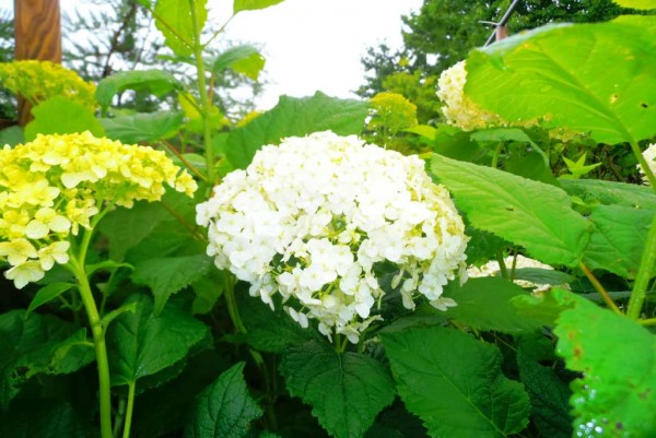 Hortensie, Hydrangea arborescens Annabelle