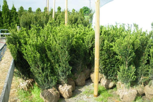 Heckeneibe Hicksii, Taxus media Hicksii