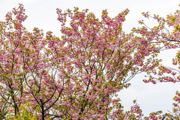 Japanische Blütenkirsche, Prunus serrulata Kanzan
