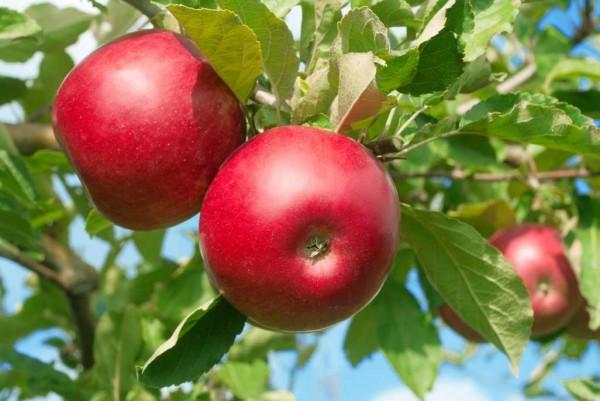 Apfel, Malus domestica Roter Gravensteiner