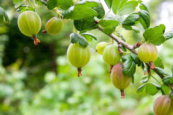 Stachelbeere, Ribes uva Crispa