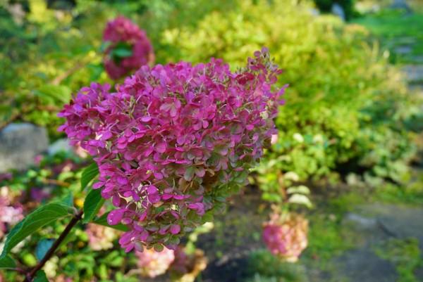 Hortensie, Hydrangea paniculata PinkyWinky