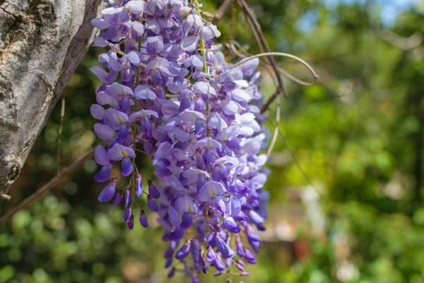 Blauregen, Wisteria sinensis