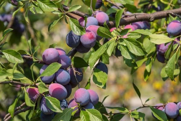 Zwetschge, Prunus domestica Bleu de Belgique