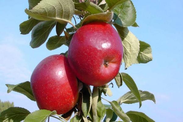 Säulen-Apfel Rondo,,Malus domestica,