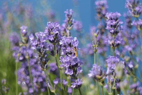 Lavendel, Lavendula angustifolia