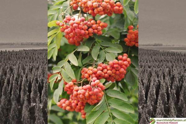 Säuleneberesche, Sorbus aucuparia Fastigiata