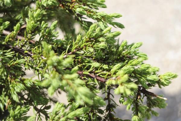 Kirechwacholder, Juniperus horizontalis