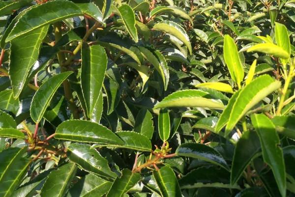 Kirschlorbeer, Prunus lusitanica Angustifolia