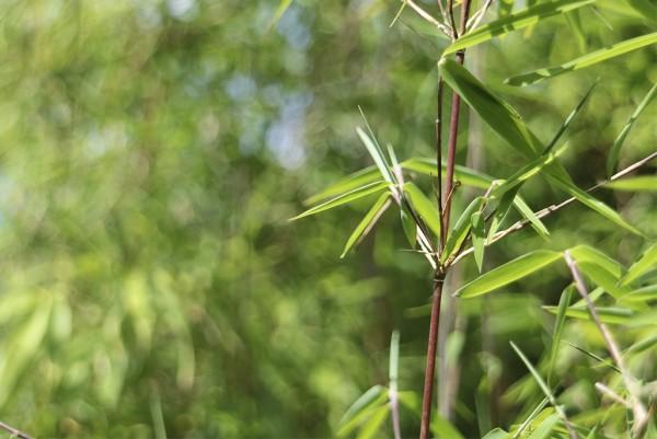 Bambus, Fargesia nitida Jiuzhaigou