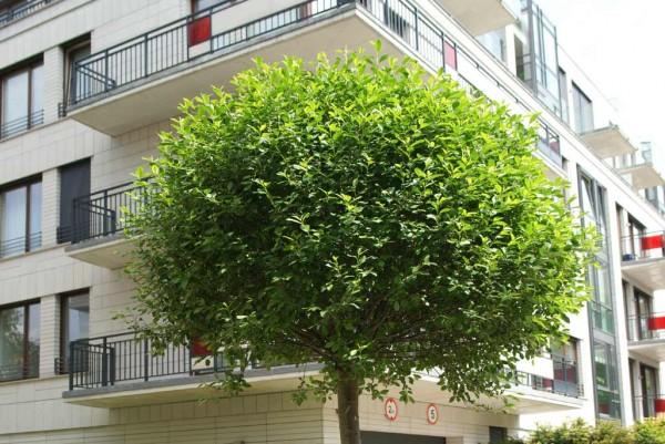 Kugelkirsche, Prunus eminens Umbraculifera