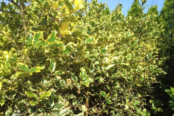 Ilex aquifolium Rubricaulis Aurea