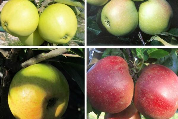 Virsorten-Apfelbaum, Malus domestica,