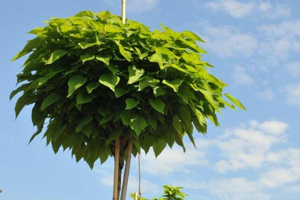 Kugeltrompetenbaum, Catalpa bignonioides Nana