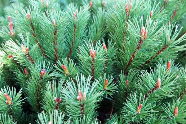 Zwergkiefer, Pinus mugo pumilio