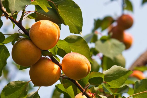 Marille, Prunus armeniaca