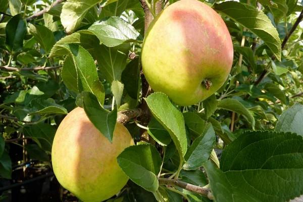 Apfel, Malus domestica Ecolette