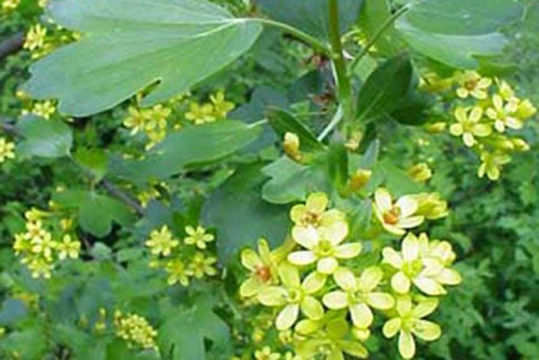 Gold-Johannisbeere, Ribes aureum