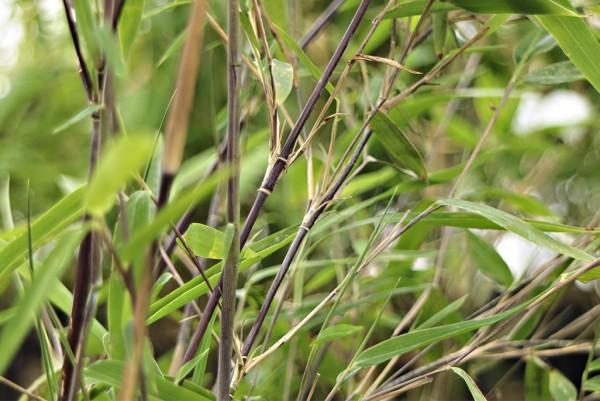 Bambus, Fargesia nitida BlackPearl