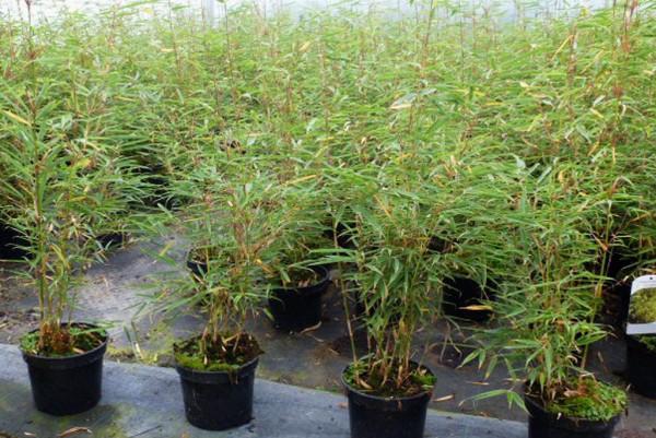 Bambus, Fargesia robusta Campbell