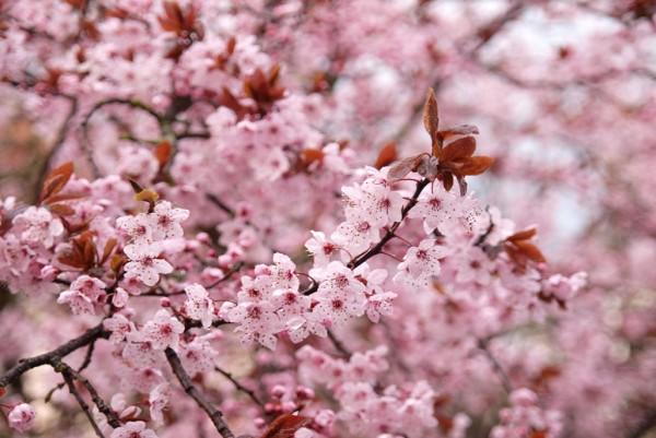 Blutpflaume, Prunus cerasifera Nigra