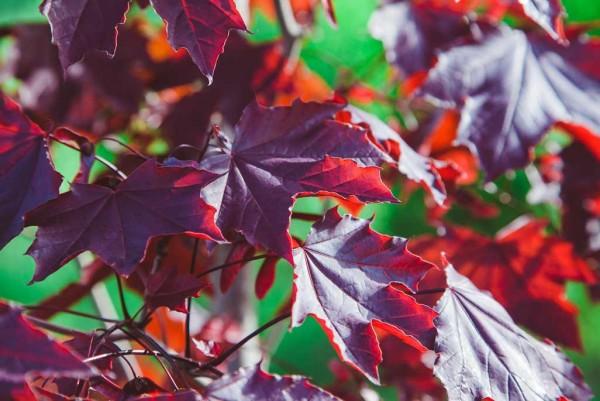 Blutahorn, Acer platanoides `Chromson King´