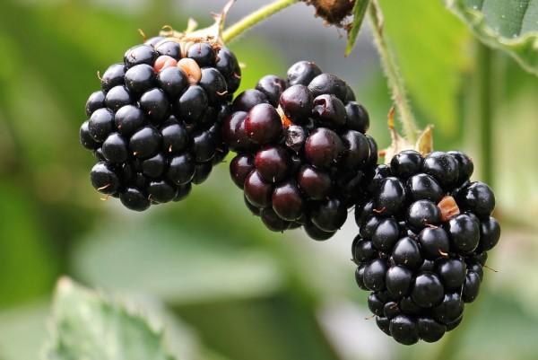 Brombeere, Rubus fruticosus Black Satin