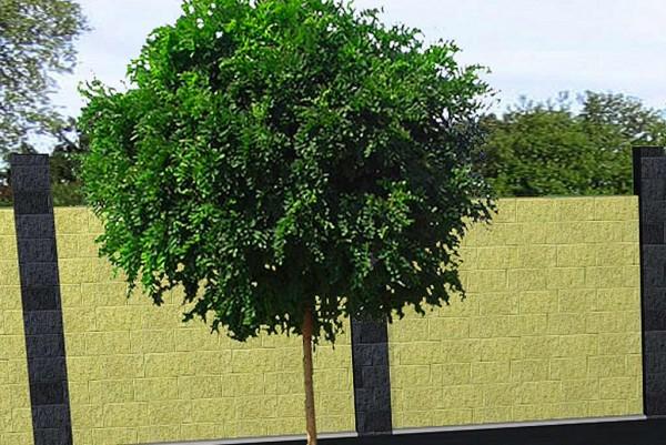 Kugelakazie, Robinia pseudoacacia Umbraculifera