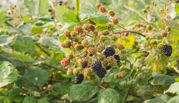 Brombeere, Rubus