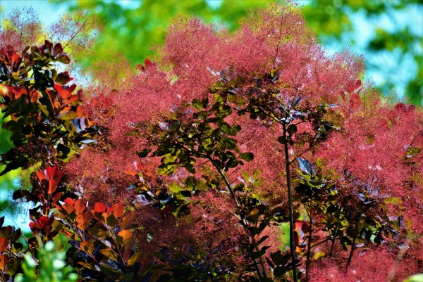 Cotinus coggygria Royal Purple, Perückenstrauch