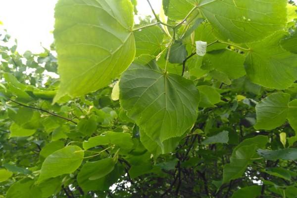 Sommerlinde, Tilia platyphollos
