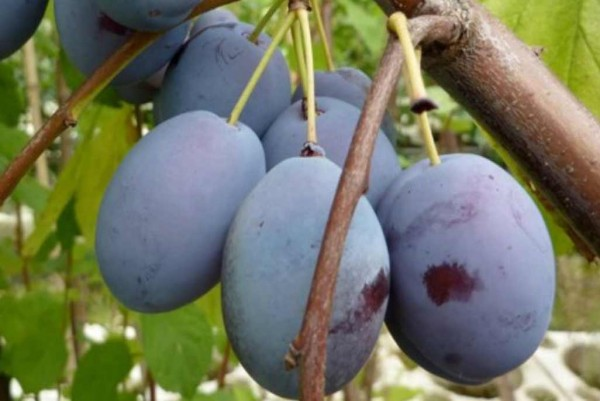 Zwetschge, Prunus domestica Wangenheim