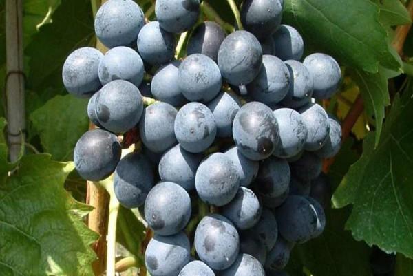 Vitis Muscat bleu