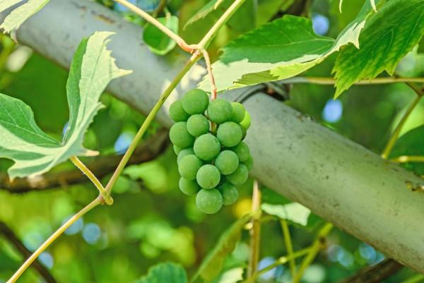 Weintraube, Vitis vinifera