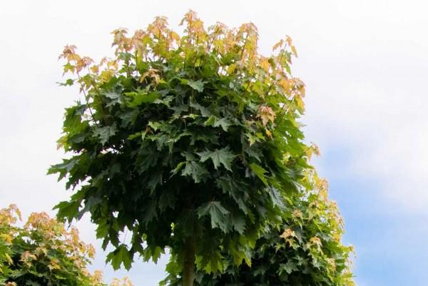 Kugelahorn, Acer platanoides Globosum