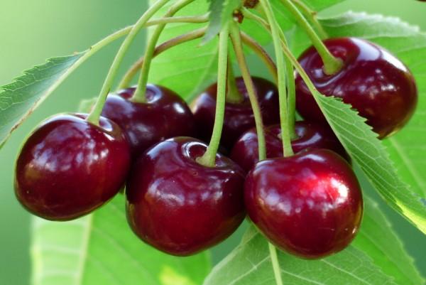 Kirsche, Prunus avium Hedelfinger Riesenkirsche