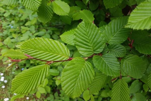 Säulenhainbuche, Carpinus betulus Fastigiata
