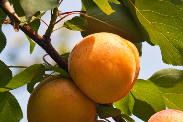 Zwerg - Marille, Prunus armeniaca Little Lena