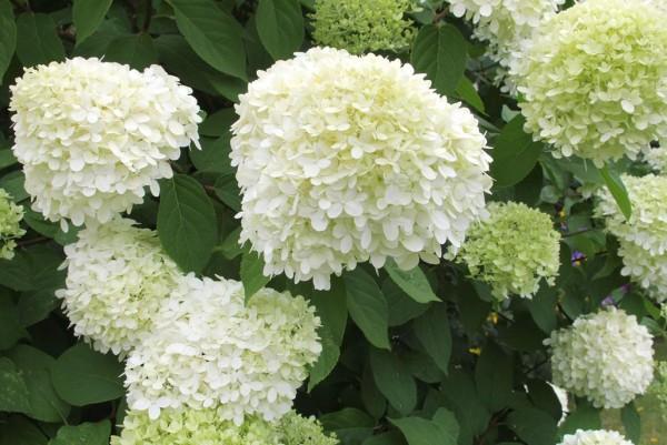 Hortensie, Hydrangea paniculata Limelight
